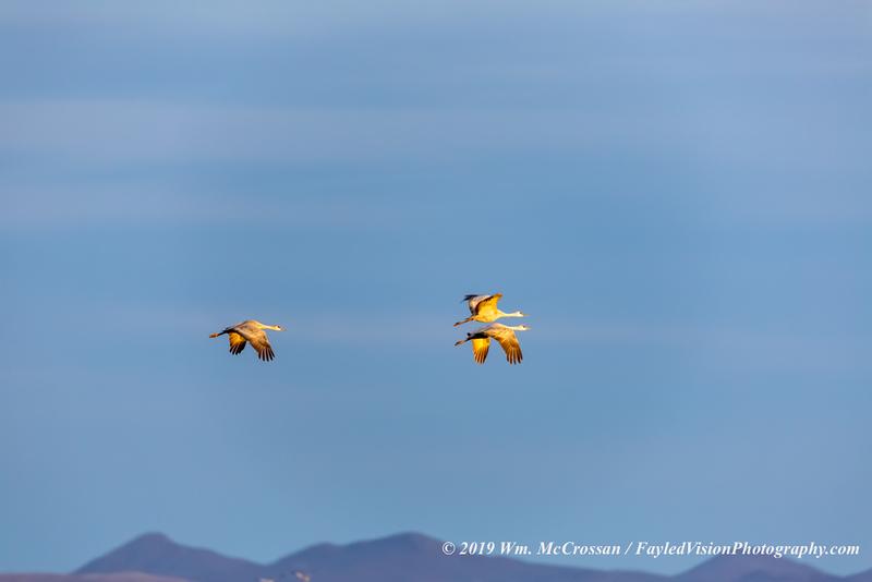 Sandhill Cranes, Whitewater Draw Wildlife Area, Arizona