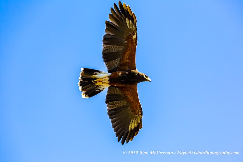 Harris's Hawk  (captive)