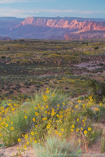 Desert Sunflowers (Geraea canescens)