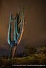 Saguaro Cactus at Night