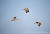 Sandhill Cranes, Whitewater Draw Wildlife Area, Arizona