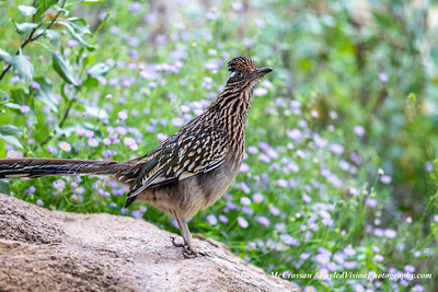 Greater Roadrunner (captive)