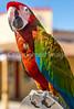 Macaw on Allen Street in Tombstone, Arizona - D6-C3-0523 - 72 ppi