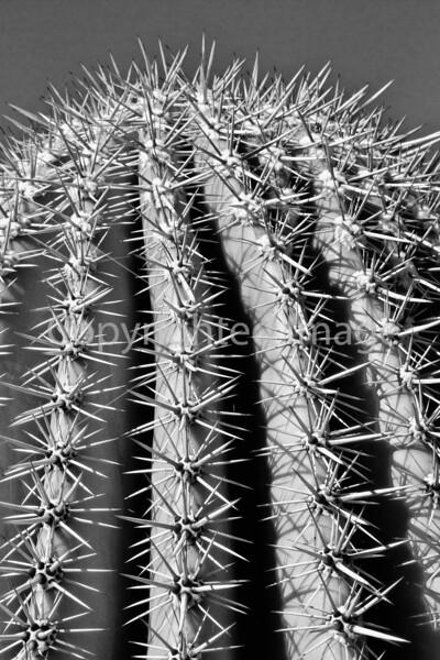 Barrel cactus - 72 ppi