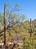 Saguaro Nat'l Park (east), Arizona -  D8-C3-0011 - 72 ppi