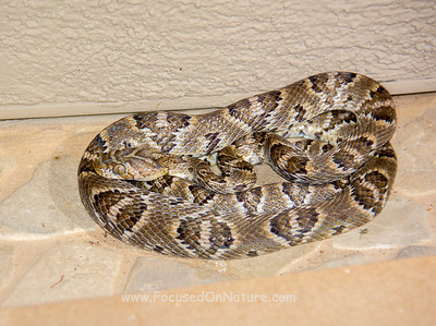 Lyre Snake