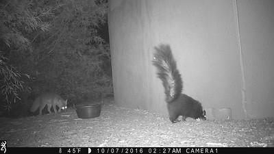 Gray Fox 5