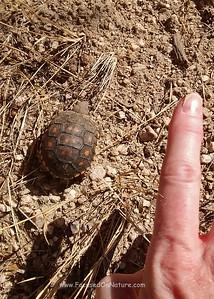 Tiny Baby Desert Tortoise