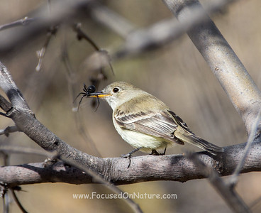 Gray Flycatcher with Spider