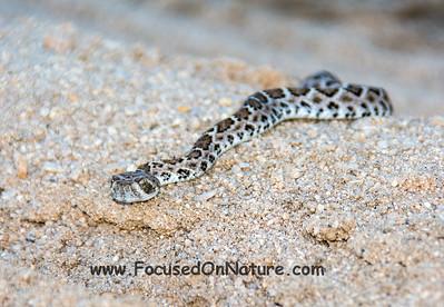 Baby WDB Rattlesnake