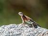 Great Earless Lizard