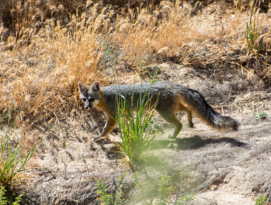 Gray Fox 3