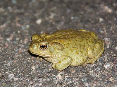 Juvenile Sonoran Desert Toad
