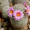 Cactus Flower 4591