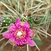 Cactus Flower 4579