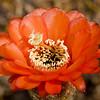 Cactus Flower 4545