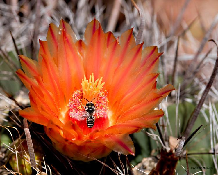 Barrel_Cactus_in_bloom_w_bee_4926