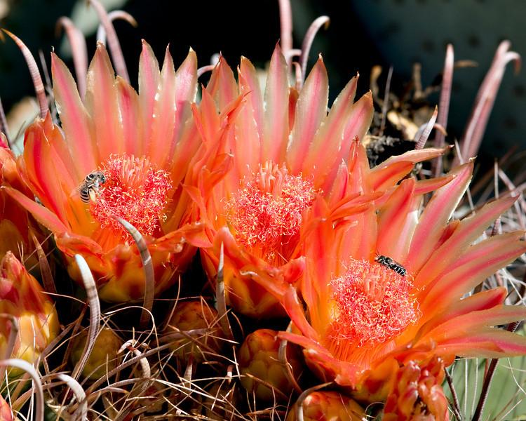Barrel_Cactus_in_bloom_w_bees_4953