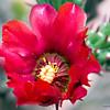Cactus_Flower_9544