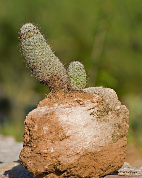 Cactus_on_rock_0301