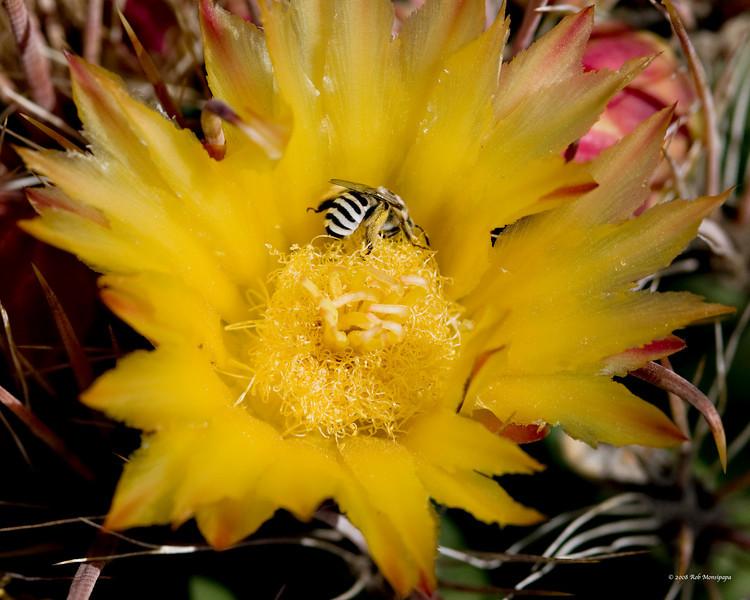 Barrel_Cactus_in_bloom_w_bee_4907