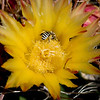 Barrel_Cactus_in_bloom_w_bee_4907