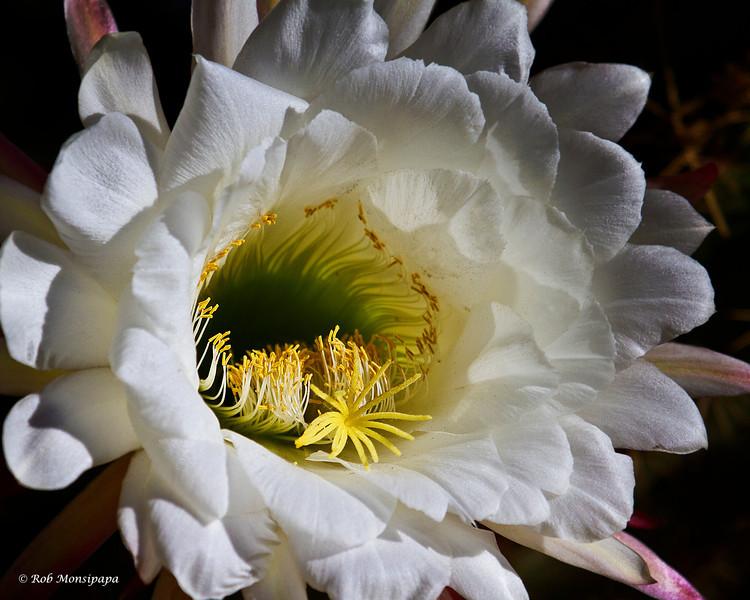 RM_cactus_flower_7D_6726