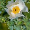 RM_700_5626<br /> Prickly Poppy