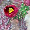 Cactus_Flower_9537
