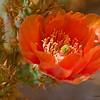 Cactus_flower_0873