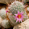 Cactus Flower 4595