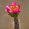 Cactus_Flower_9456