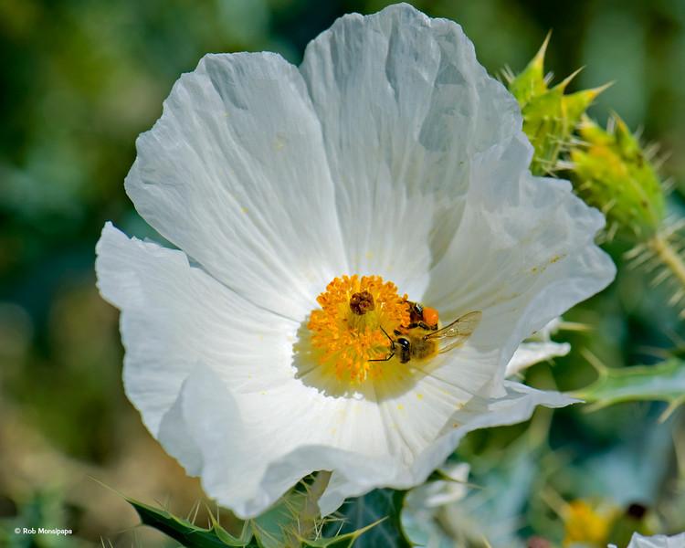 RM_700_5658<br /> Prickly Poppy