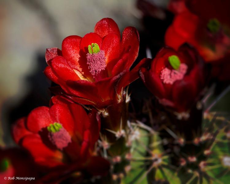 RM_cactus_Flower_7D_6380