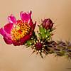 Cactus_flowers_9458