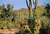 Biker on Hohokam Rd , west side of Saguaro NP in AZ - 29 - 72 ppi