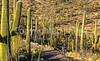 Cyclist(s) in Saguaro Nat'l Park, Arizona - 3-16 - C1 -0049 - 72 ppi - #4