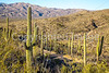 Cyclist(s) in Saguaro Nat'l Park, Arizona - 3-16 - C1 -0049 - 72 ppi #2
