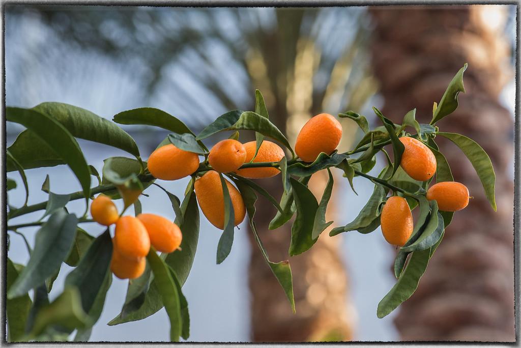 Kumquats at a Shopping Centre