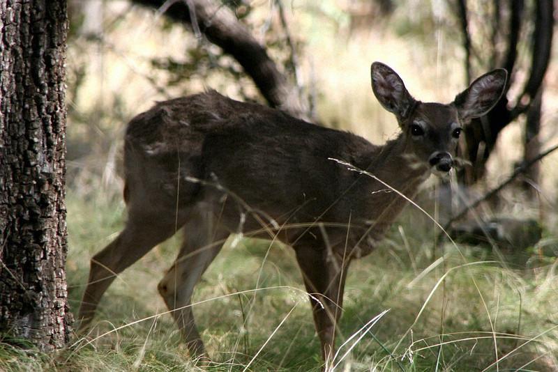 Coes Deer - Fawn