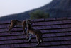 A mating pair of bobcats on the roof of a home on the edge of the Daisy Mountain Preserve.