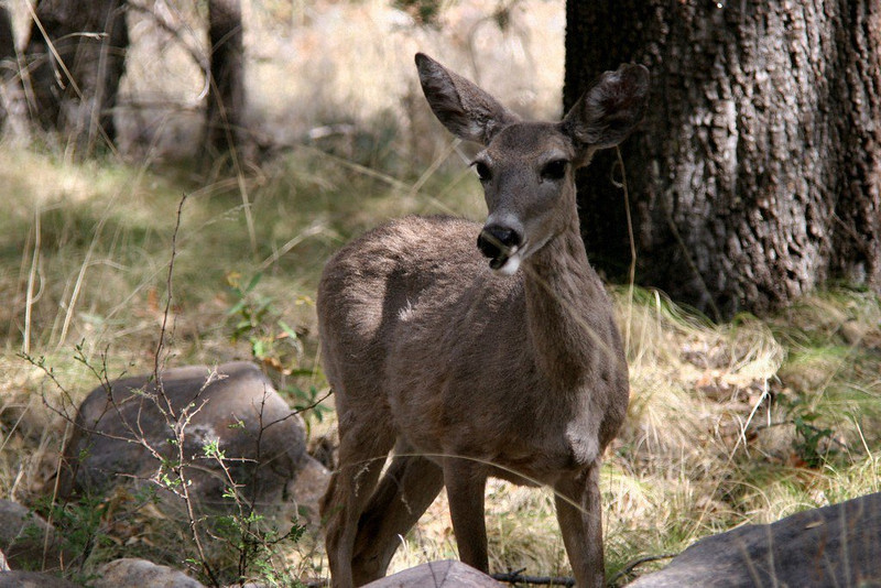 Coes Deer - Female