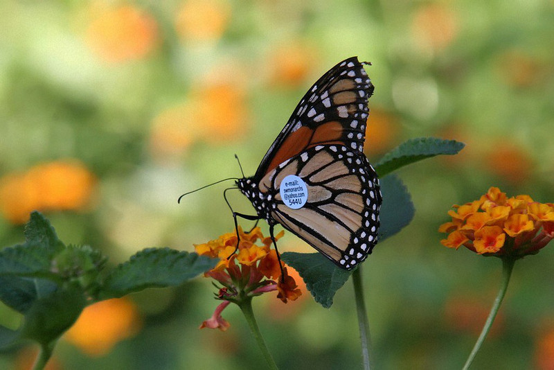 Monarch Butterfly  (tagged for tracking)