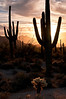 AZ 030                     Suguaro cactus at sunrise in Usery Mountain Regional Park, Mesa, Arizona.