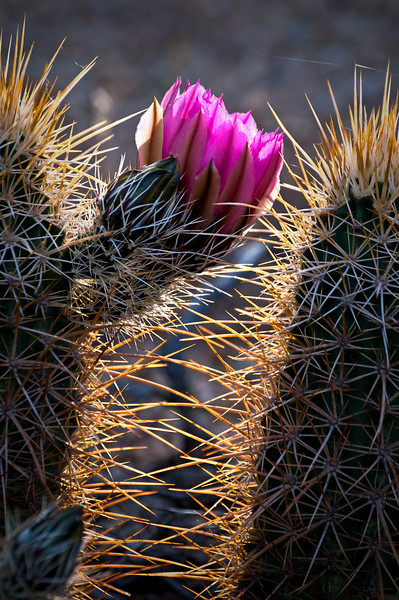 AZ 020                      Hedgehog cactus bloom in Tonto National Forest, AZ.