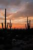 AZ 029                     Suguaro cactus at sunrise in Usery Mountain Regional Park, Mesa, Arizona.