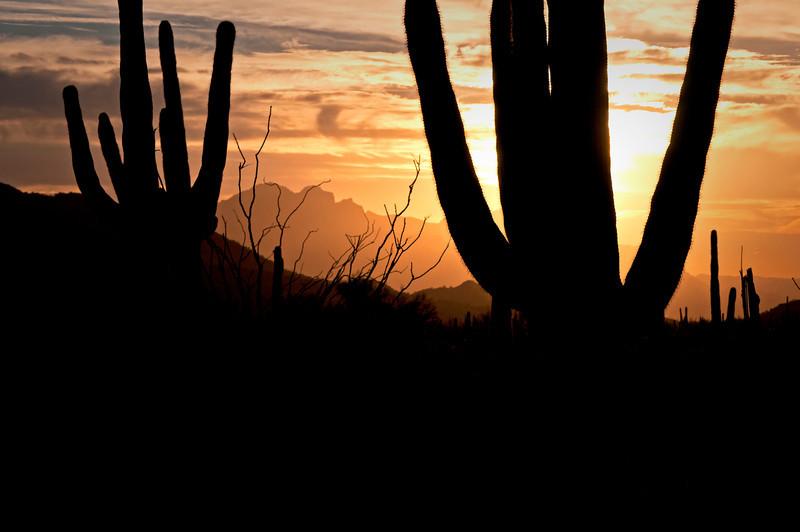 AZ 031                      Suguaro cactus at sunrise in Usery Mountain Regional Park, Mesa, Arizona.