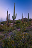 AZ 003                       First light on saguaro cactus, Tonto Natinal Forest, AZ.
