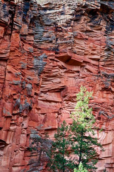 AZ 051                          Juniper trees stand out against the sandstone walls of Oak Creek Canyon near Sedona, Arizona.