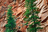 AZ 049                          Juniper trees stand out against the sandstone walls of Oak Creek Canyon near Sedona, Arizona.